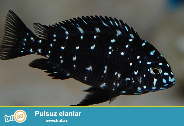 tanganika balığı tropheus dubois. 7 sm yuxarı