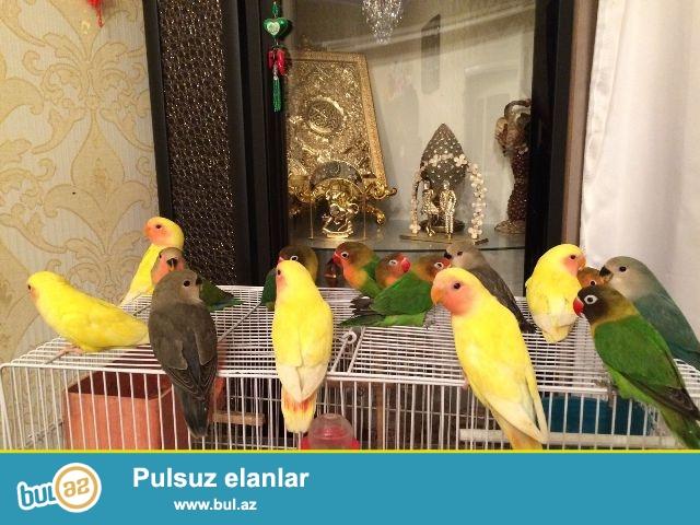 Cənnət papuqayları cüt və tək-tək satılır...