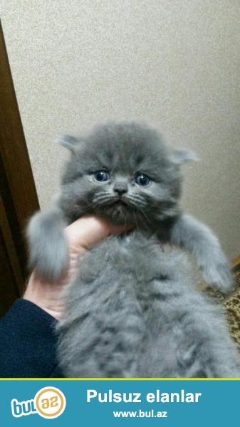 Продаются котята британской и шотландской породы...
