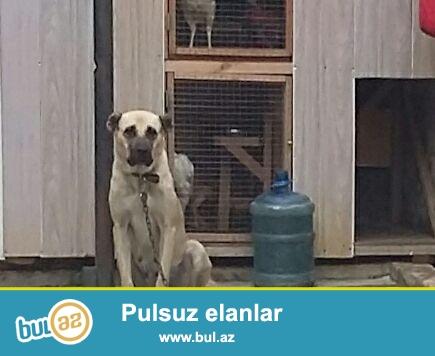 Продаётся самка Кангала,ей 2 года 5 месяцев,здоровая и чистая собака,идеально охраняет двор
