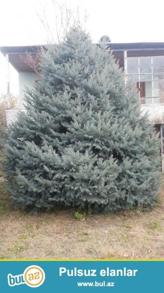 Kremlovski yolka , Serebrovski yolka  , Palma ağacları satilir...