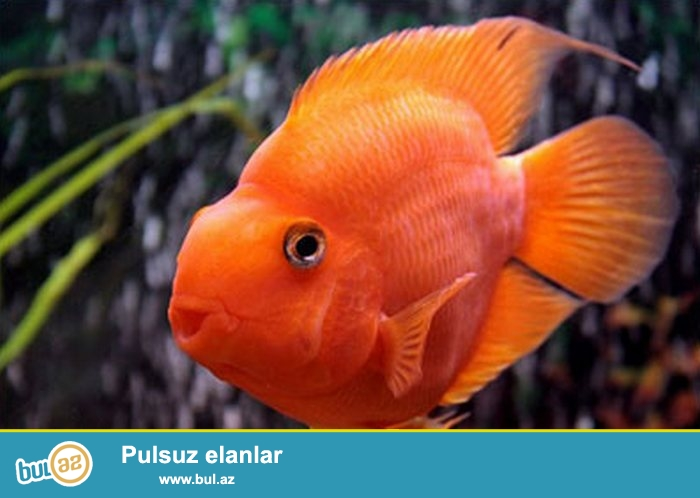 Böyük ölçüdə Popuqay balığı (12 sm)