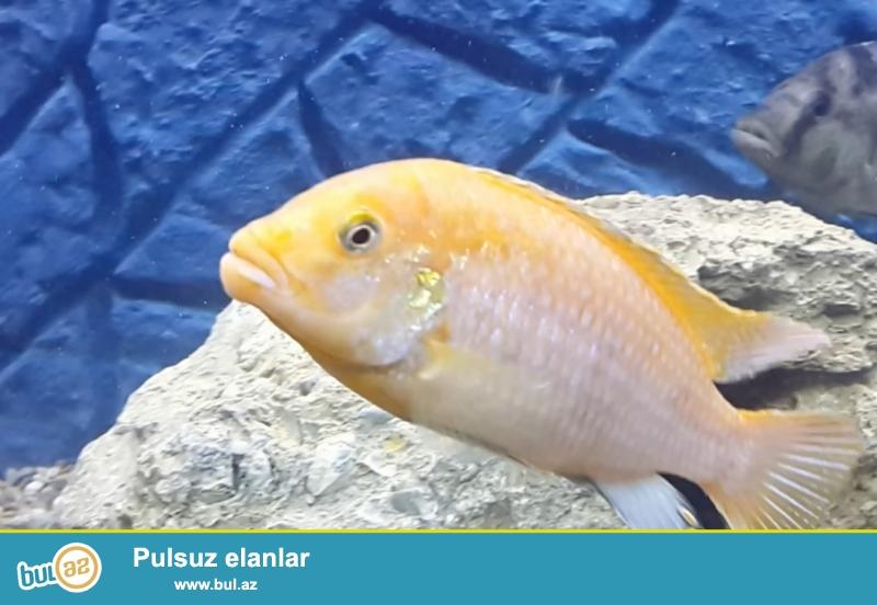 Satılır 14-15 sm ölçüdə sağlam Limonnik balığı...