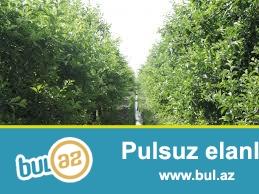 Qubanin Barli kentinde alma baglari satilir.1 hektar ayri,yarim hektarda ayri,qiymeti razilasma yoli ile