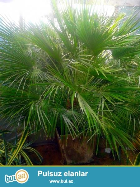 Butun aqaclar ozumuz terefinden ekilir.<br /> <br /> Hər ölcüde palma, şam, püstə və digər ağaclarının satışı...