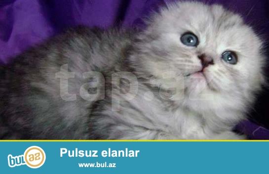 Продается котенок (Хайленд Фолд) возраст 1,5 месяца,Приучен к лотку, Кушает самостоятельно...