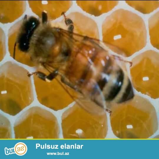 Göyçayda çiçək tozu satılır və arı südü, arı südü qramı 2 manat, çiçək tozu  1 kq 100 manat.