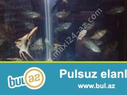 skaliari yerli artim  bawqa baliqlarda var  akvariumlarda var avadanliqlarda var   <br /> whatsapa yaza bilersiz 051 878 85 61