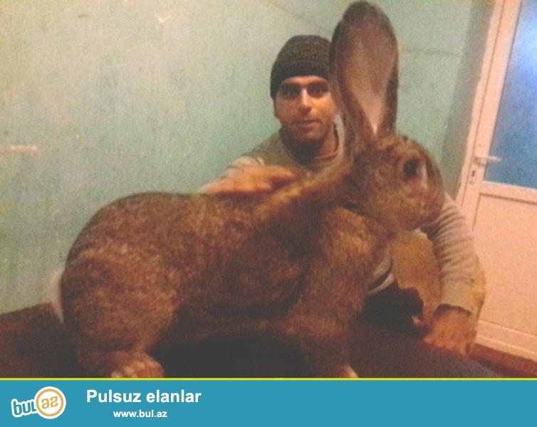 Velikan dovşanlar sortu belgiski flander, nemeçskiy rizen...