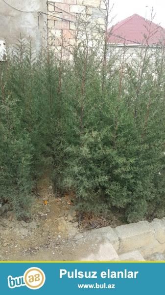 Kiparis yolka ağacları 200 ədəd yaxın uzunluğundan asılı olaraq 1 metrəsi - 1 manatdır