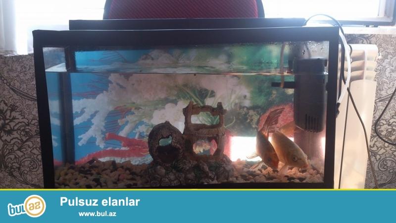 akvarium satiram akvarimla birlikde iki eded baliqla wekildede baliqlar var baxa bilersiz.