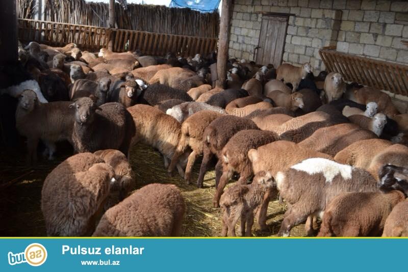 Saatlı rayonunda Ferma satilır 550 goyun və 60 baş mal var, hazirda artımda var...