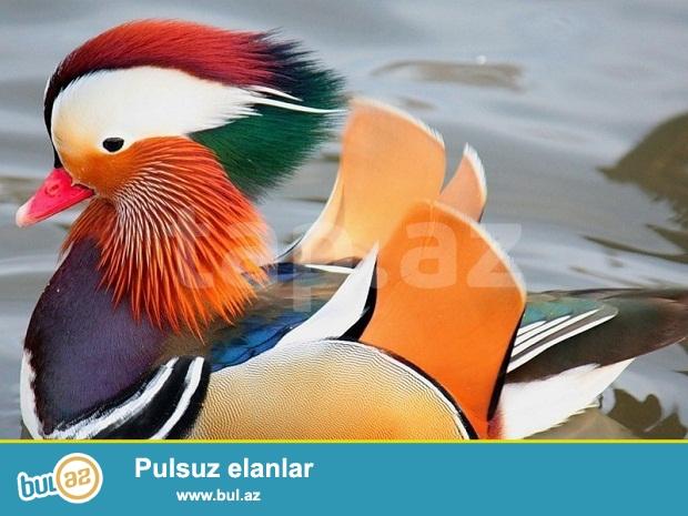 Mandarin ordeyi satilir bir cut erkek diwi mandarinka ordeyleri qirmizi kitaba duwub  ve dunyanin en gozel ordeyi sayilir