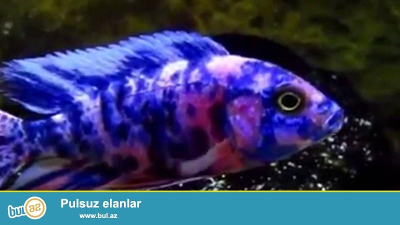 Multicolor balığı satıram 3 sm 16 ədəd hamsı 30 manat