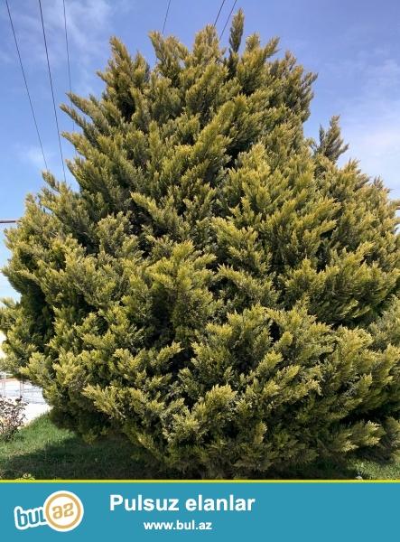 16 illik yolka Ardıc ağacı satılır. Şəkildə gördüyünüz ağacdır...