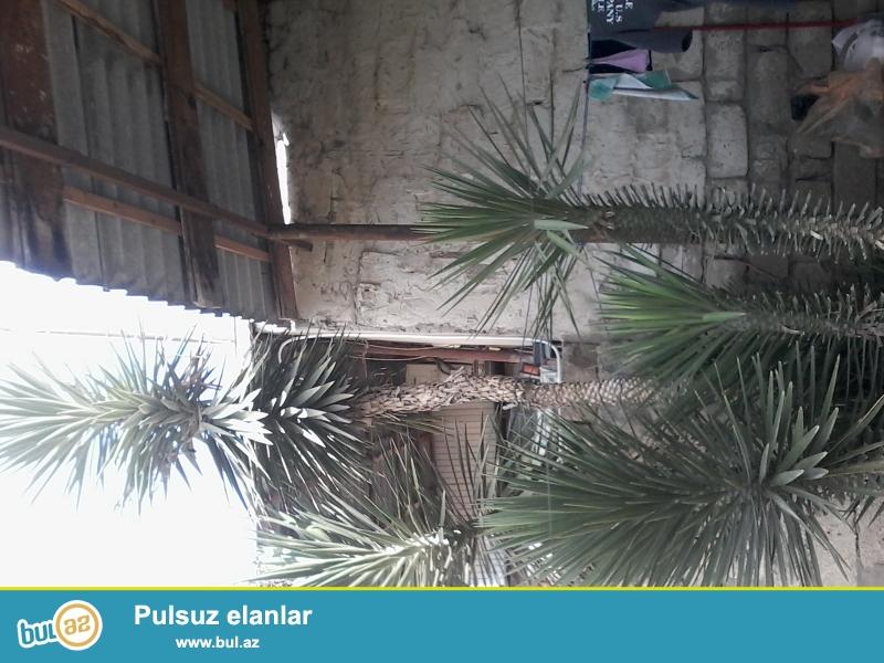 Gözəl Palma ağacıdır və hamısını birlikdə satıram!