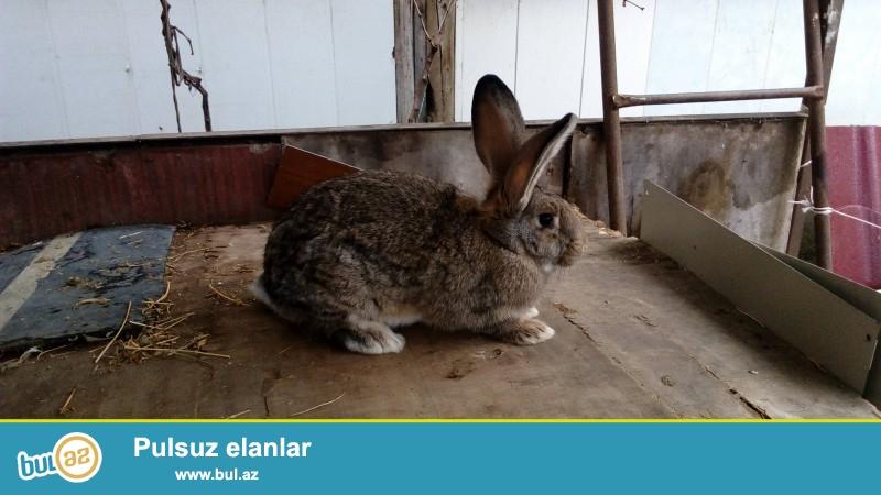Ağ və boz velikan, flander, vislouxiy baran cinsi dovşanlar...