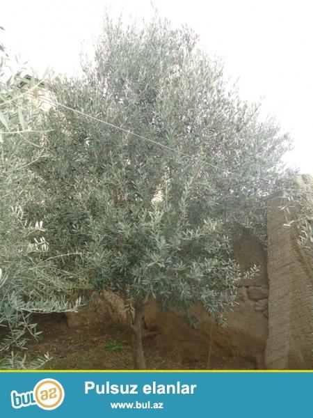 Zeytun agaci satilir 10 11 ilik ağaclardı<br /> 80 yaxın ağacdı <br /> <br /> WhatsApp (070) 846 35 73<br />