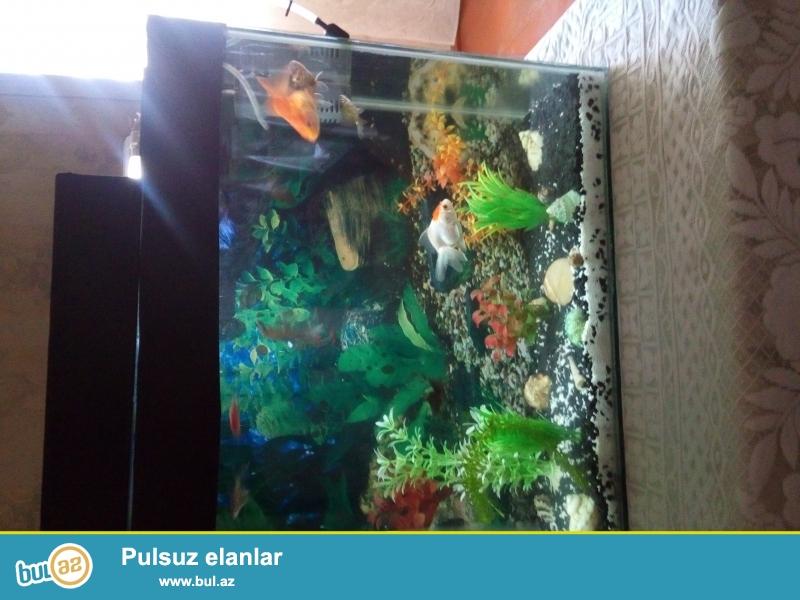 50 litr hecminde akvarium satiram. Icinin iwigi dawlari balig qulagi otu baligi filtri arxa fonu...