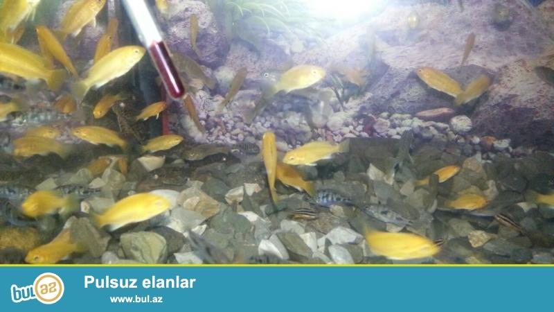 Limonnik yerli artim 3-4 sm 1.50 azn  <br /> bawqalarida var yerli artim baliqlar <br /> akvariumlarda var