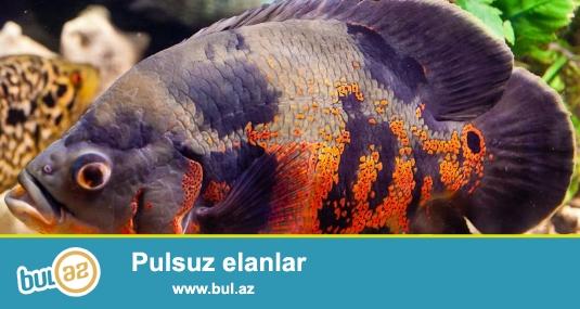 Oskar balığı, 18-20 sm.