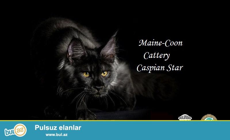 Единственный в Азербайджане питомник кошек породы мейн кун предлагает элитных котят