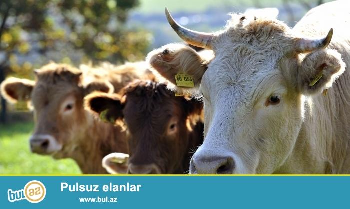 Təcili İmişli rayonu Şirinqum ərazisində 78 ha sahəsi olan ferma satılır...