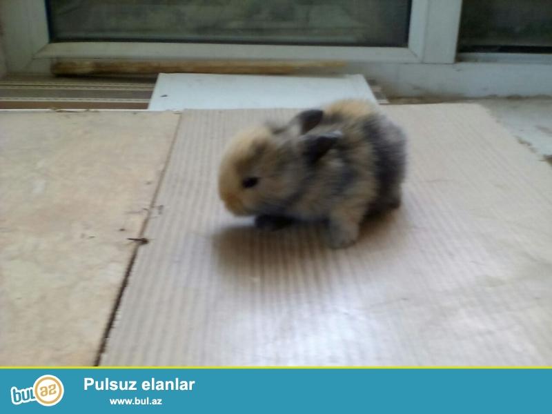 dekorativ dovşan balaları satıram hər rəngdə təmiz ev şəraitində ayrıca otaqda saxlayıram...