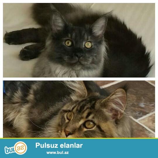 Питомник Caspian Star предлагает к продаже котят породы Мейн-Кун <br /> Д...