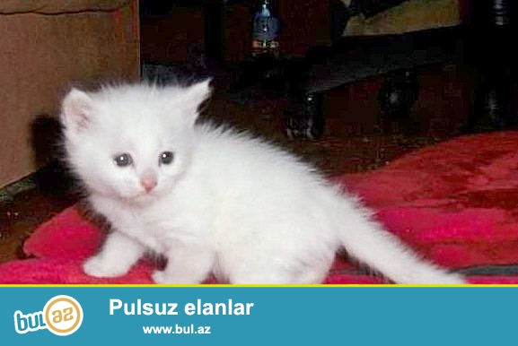 Ag ve rengli türk anqora balaları 1 aylıg diger cins pişiklerde var!