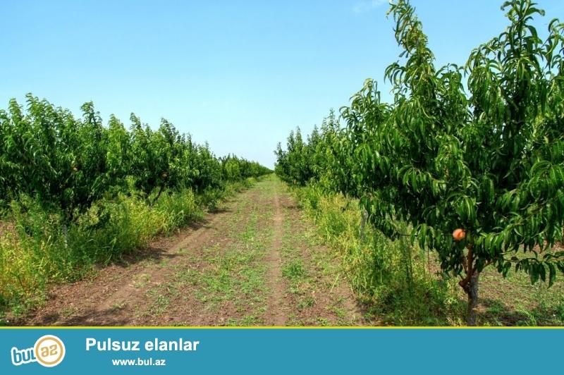 Xaçmaz rayonu Çarxı kendinde 7,5 hektar sahesi olan yeni meyveye düşmüş bağ ( alma, şeftalı, gavalı, alıça) ve istifadeye hazır ferma satılır...