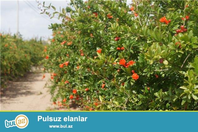 Shamaxi rayonunun Poladli kendinde 5 heqtar torpaq sahesi satilir...