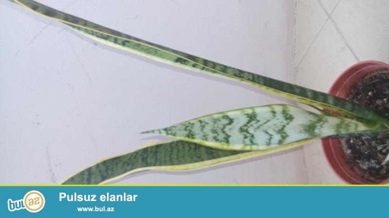 Otaq bitkisidir,otaqdaki havani temizleyir