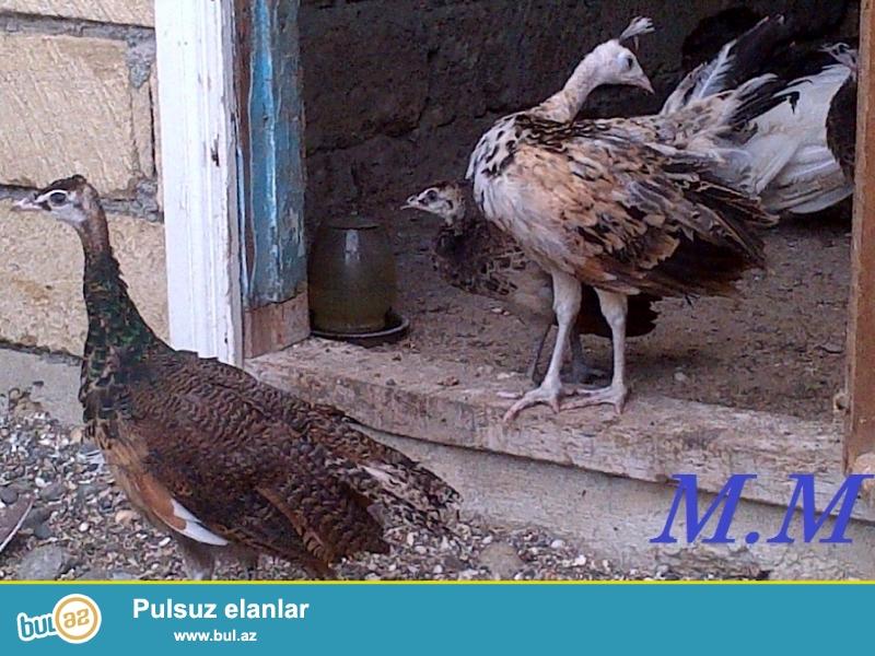 Tovuzquşu balaları satıram şəkildə gördüyünüz quşlardır...