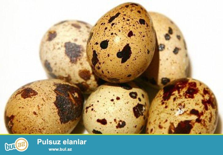 birdircin ve yumurtasi satiram bildircin 2 azn yumurtasi ise 10 qepikdir adim eldardir nomre 0558401033