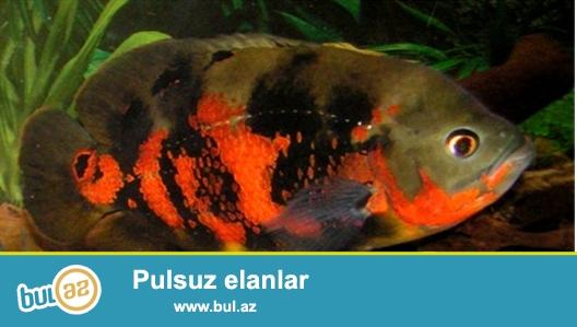 Oskar balığı uzunluğu 28-30 sm.