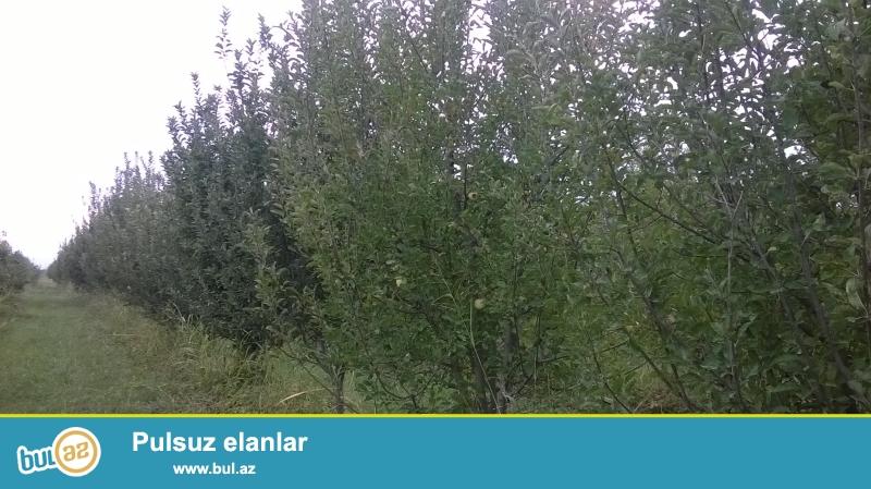 Xaçmaz səhərindən 25 km aralıda yerləşən 11 illiy meyvə getirən 100 sot alma bagı satılır bagda 600 agac var yarısı ag alma yarısı qırmızı alma...