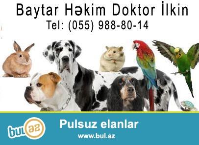 лечение животних<br /> heyvanlarin maulicesi<br /> Doktor ilkin (055) 988-80-14