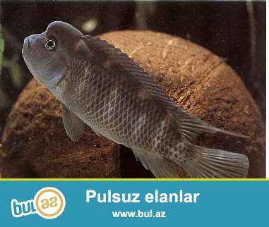 Steatocranus casuarius tanqanika baligi<br /> <br />