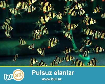 Barbus sumaturan 3sm bundan elave 40cesit baliqlarimiz var bitki akvarium adi akvarium ucun butun avadanliqlar bizde.