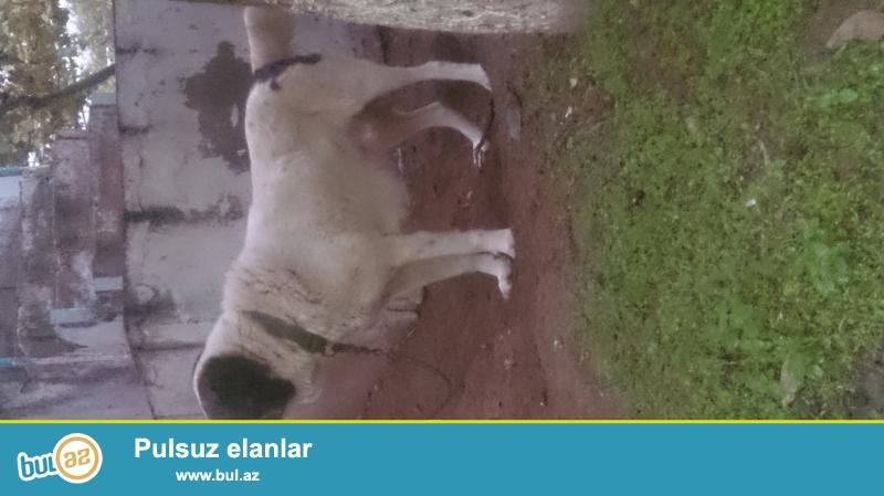 Temiz cins Qafqaz çoban iti satram Disdir ela itdir heç bir problem yoxdur cüt vahdidir...