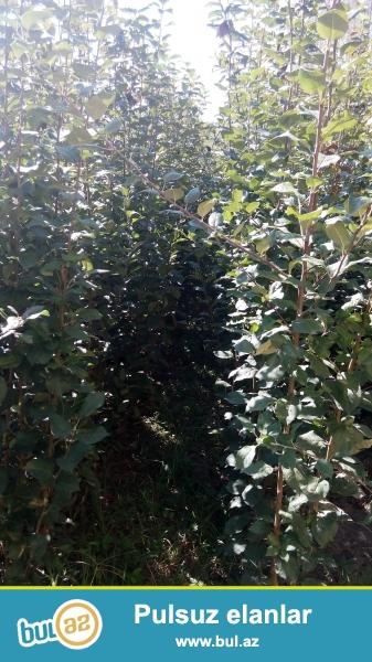 Şəki rayonu Çeşməli kəndində topdan calaq ağacları satılır.<br /> <br /> Qızıləhmədi, sinab, smeronko(göy alma), qolden(sarıalma)<br /> <br /> qiyməti 1...
