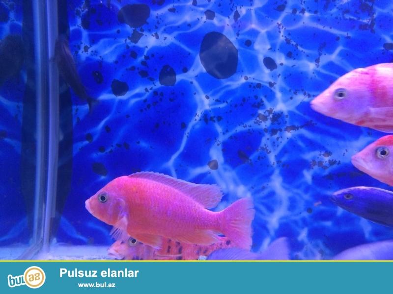 Firefish yerli artim <br /> 4-10-12sm var