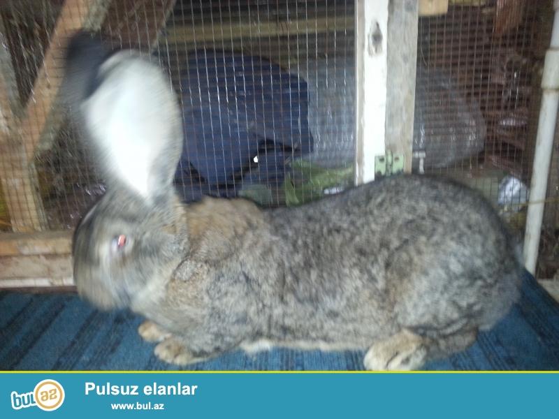 velikan dovşanlar rizen-flander 7-10 kq olurlar 8-14 bala verirlər