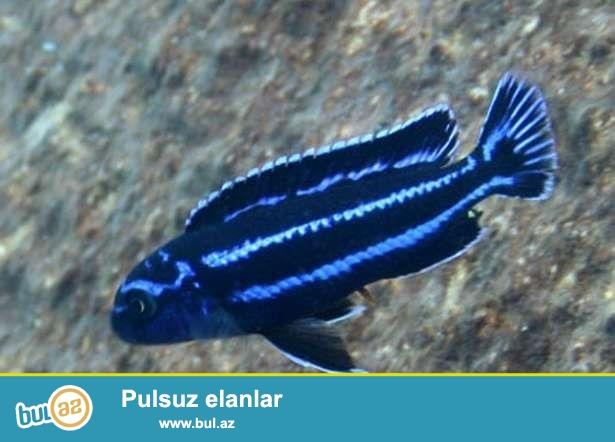 Melanochromis Maingano 7-8sm.