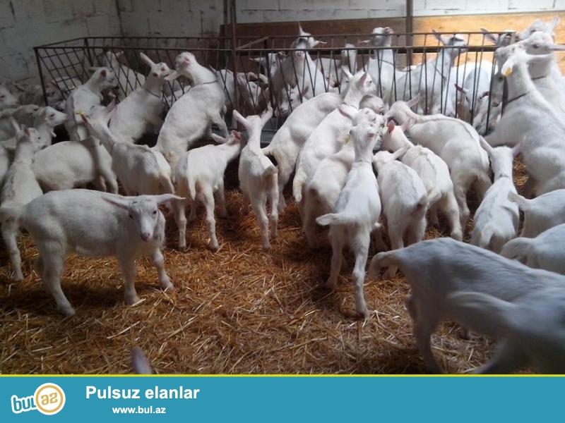 Südlük safqan saanen keçiləri satılır qiyməti 600 azn dən başlayaraq 1200 azn dək var...