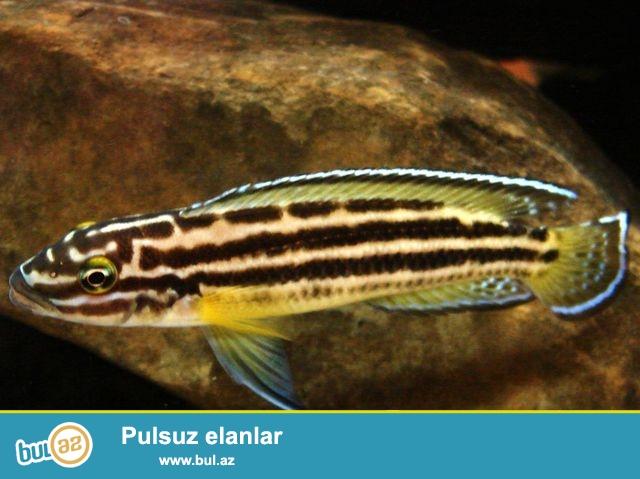 Julidochromis regani 8sm tanqanika golunun baligi.<br /> <br />