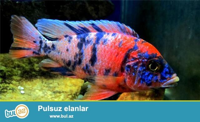 Multicolor yerli artim 4-8-12sm.Bundan elave 40 cesidde Baliqlarimiz var, Akvarium avadanliqlari Bizde.