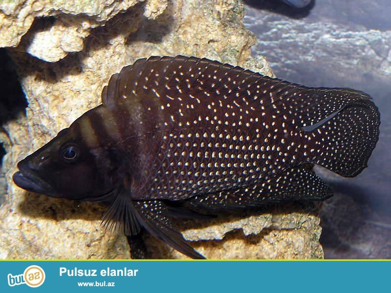 altolamprologus calvus black tanqanika golunun baligi<br /> <br />