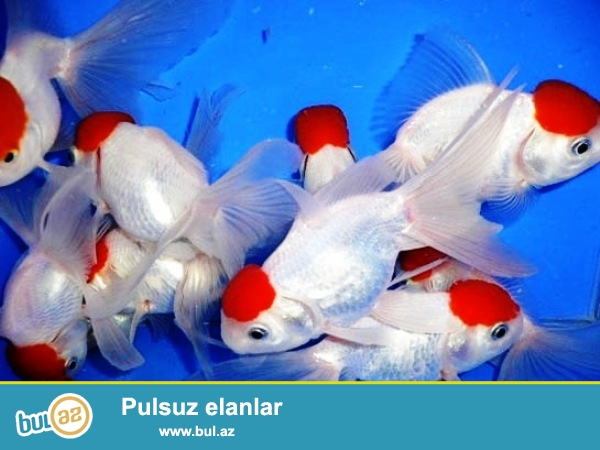 Qirmizi papaq bundan elave 40 cesit akvarium baliqlarimiz var.Bitki ve sade akvarimlar ucun butun avadanliqlar bizde.